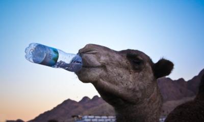Сколько может не пить верблюд